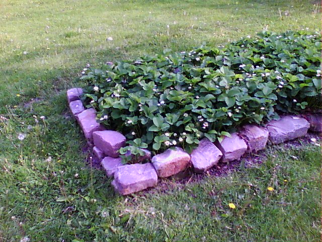 Strawberry plant bed visible