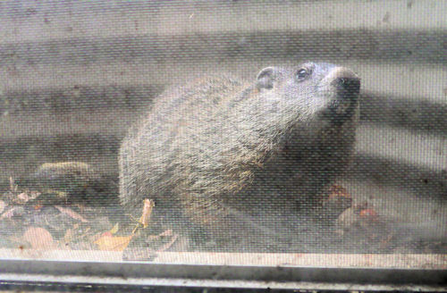 Woodchuck in the window well